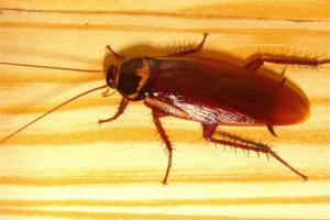 5種天然消除蟑螂方法,快收藏起來吧! |  台灣大紀元