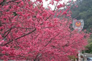 賞櫻到台中 泰安派出所前老欉櫻花盛開