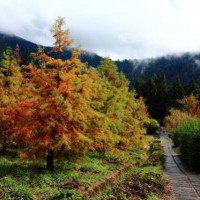 台中【武陵農場】楓葉紅與落羽松黃色盛開的美麗風情 - yam輕旅行