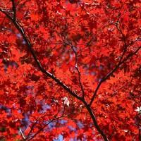 光明寺最著名的楓葉景點,也是攝影名景,就是楓葉參......